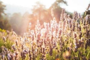 Lavender-bush-in-the-early-morning-light-9540-600x400