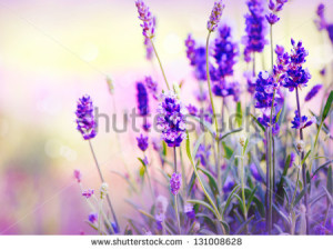 stock-photo-lavender-131008628